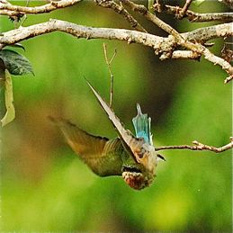Naval aviation of Blue-tailed Bee-eaters