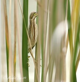Yellow Bittern in camouflage mode