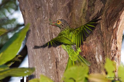 Lineated Barbet: Food for the chicks