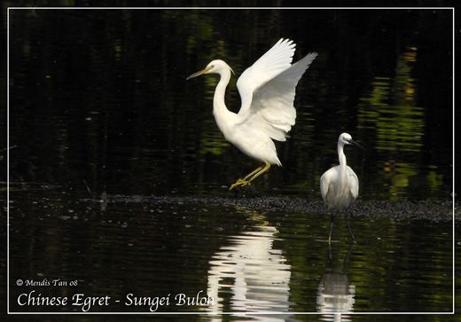 Chinese Egret at Sungei Buloh Wetland Reserve