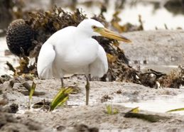 Observations on egrets at Semakau Landfill