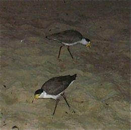 Night feeding by Masked Lapwing