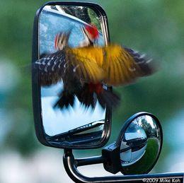 Common Flameback's mirror confrontation