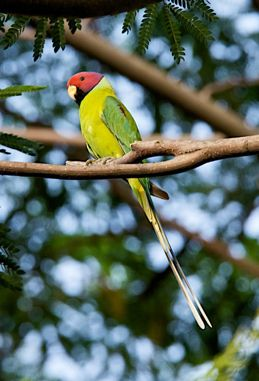 Blossom-headed Parakeet sighted