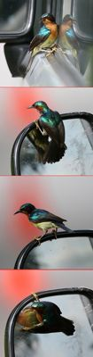 Bird reflection: Ruby-cheeked Sunbird