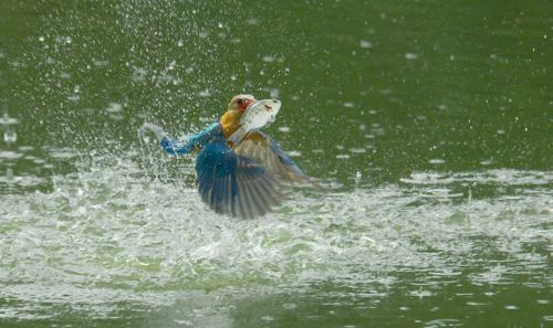 Stork-billed Kingfisher and the tilapia
