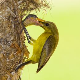 Olive-backed Sunbird: Feeding of chicks