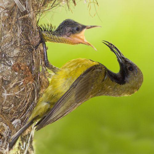 Birds Sunbird: Olive-backed Sunbird: Feeding Of Chicks