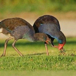 Purple Swamphen in Western Australia