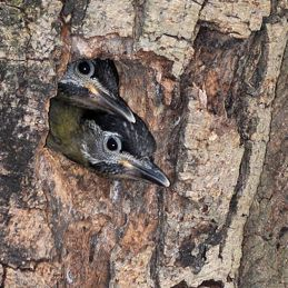 Nesting Laced Woodpecker