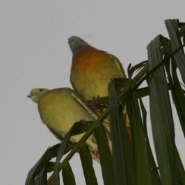 Pink-necked Green Pigeons and Tanimbar Corellas