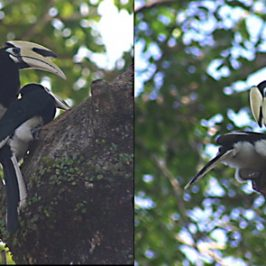 Oriental Pied Hornbill: Yet another courtship at Changi