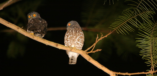 Owls in Singapore
