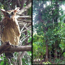 Sentosa's Buffy Fish Owl