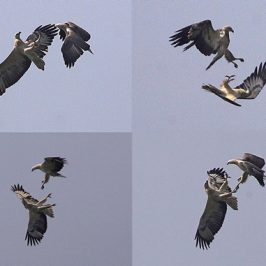 Aerial display: White-bellied Sea Eagle