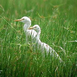 Cattle egrets have colonised the world