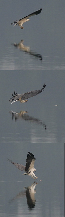 White-bellied Sea Eagle: Fishing