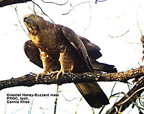 Oriental Honey-buzzard: 1. Nesting