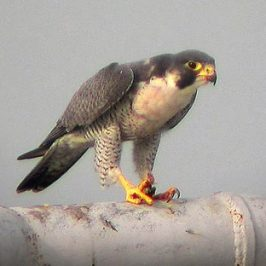 Peregrine Falcon feasting on a Black-naped Oriole