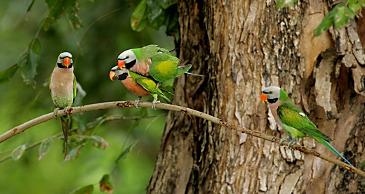 Mating of Red-breasted Parakeets