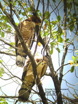 Oriental Honey-buzzard: 2. Nestlings