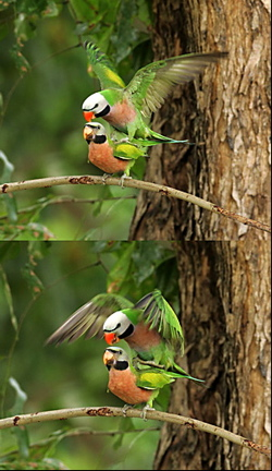 Mating of Red-breasted Parakeets – Bird Ecology Study Group