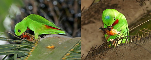 Hanging parrot, parakeets and oil palms