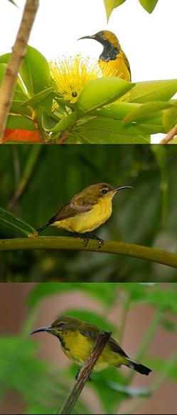 Sunbird's plumage