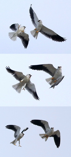 Black-shouldered Kites at play