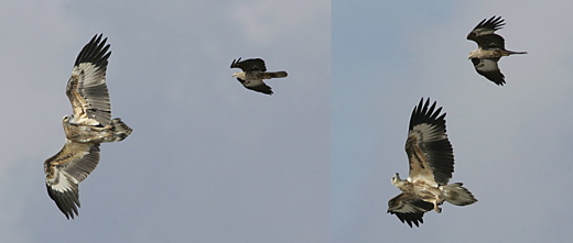 Aerial display: Sea eagle and kite