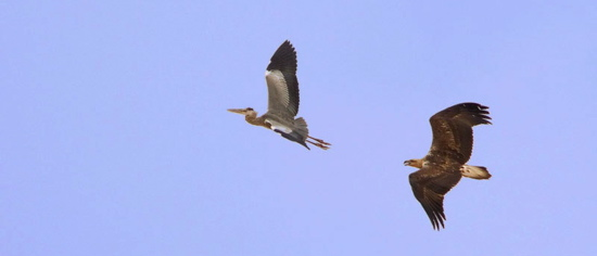 White-bellied Sea Eagle and the Grey Heron