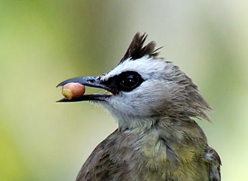 Food for the Yellow-vented Bulbuls' nestlings