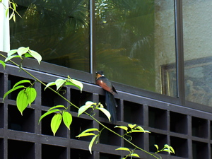 Chestnut-winged Cuckoo came for a visit