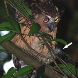 Buffy Fish Owl in distress