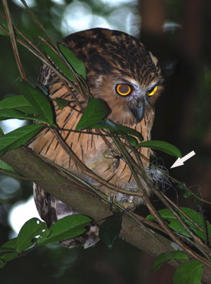 Buffy Fish Owl in distress