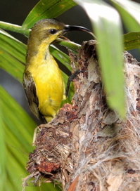 Anatomy of a nest: Olive-backed Sunbird