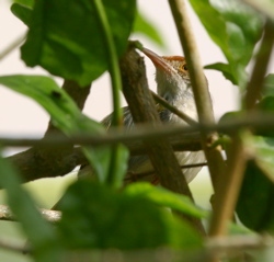 Common Tailorbird: A failed nesting