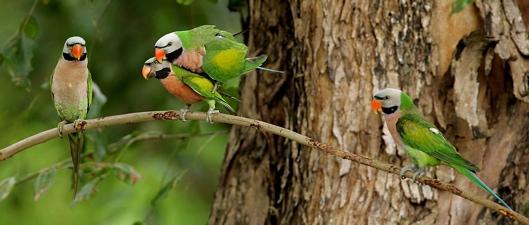 Red-breasted Parakeet: <em>fasciata</em> or <em>alexandri</em>?
