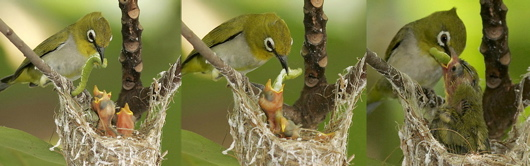 Oriental White-eye: Feeding the chicks