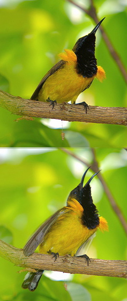 Olive-backed Sunbird: mating dance