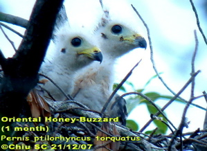 Oriental Honey-Buzzard: Successful breeding of 2 chicks on third attempt