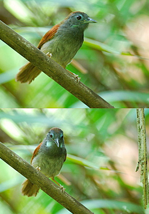 Chestnut-winged Babbler: Courtship ritual