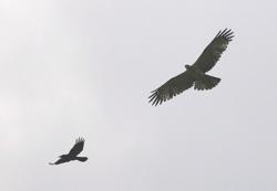 buzzard-crow-mchan.jpg