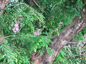 Oriental Pied Hornbill: Failed nesting at Changi
