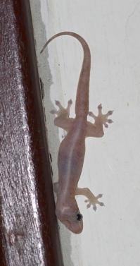 Javan Myna – gecko