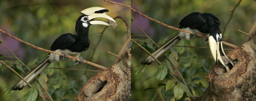 Oriental Pied Hornbill: A second nesting at Changi