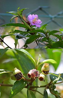 Melastoma and flowerpecker I