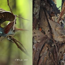 Chestnut-winged Babbler: Courtship and nest