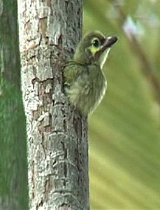 Nesting of Coppersmith Barbet
