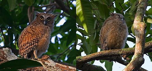 Buffy Fish Owl encounters